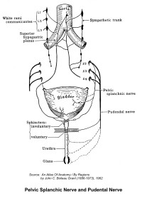 Pelvic Splanchic Nerve and Pudental Nerve