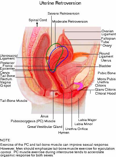Does the penis enter the cervix during sex